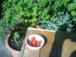 ミニトマト収穫祭